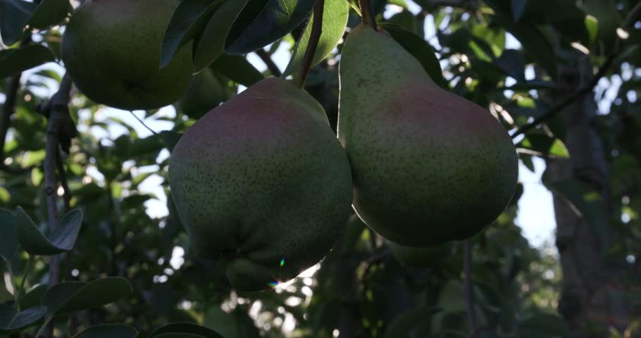 4K Bunch of pears growing on a fruit tree   | Shutterstock HD Video #15266797