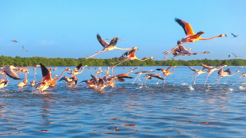 Flock of pink flamingos flying on water surface tracking shot slow motion