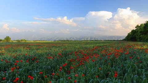 Field of poppies near Almaty with beautiful sky and clouds