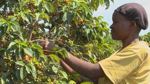 KENYA, AFRICA - CIRCA 2009: A woman picks coffee beans on a farm circa 2009 in Kenya.