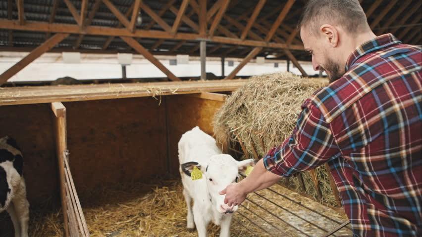 Farmer feeding young cow. RAW video record.