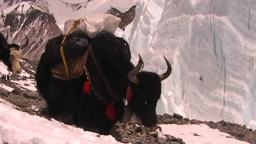 Yaks packed with expedition gear walk across ice pyramids on Mt. Everest