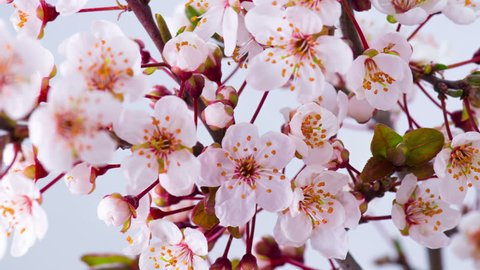 Flowers Blossoms on the Branches Cherry Tree. Timelapse. 4K.