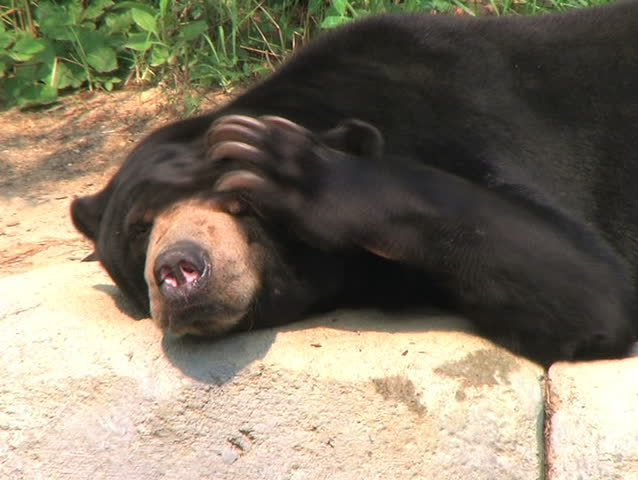 Sun Bear Scratching Head