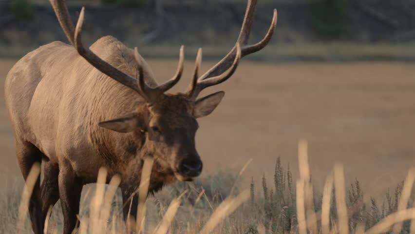Excellent close up of bull Elk with massive antlers as he walks toward the camera.  His head his lowered as he prepares to herd his female harem. Yellowstone National Park, Wyoming and Montana. 4K.