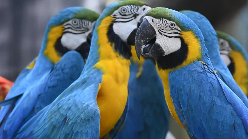 Group of Colorful Blue-and-gold Macaws Stock Footage Video (100%  Royalty-free) 15677596 | Shutterstock
