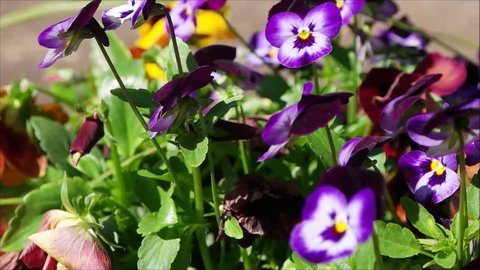 purple pansy flower
