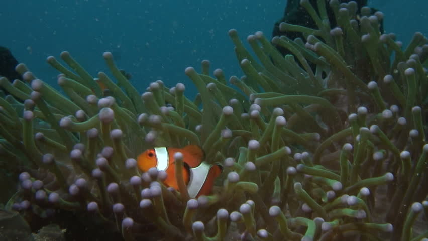 False Clown Anemonefish | Shutterstock HD Video #1573456