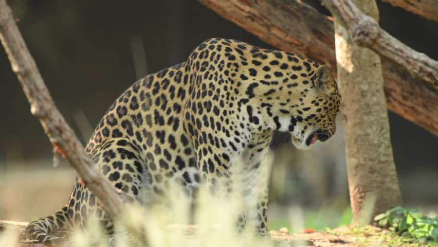 Jaguar animal in forest 5415104 shutterstock leopard 4k stock video clip voltagebd Gallery