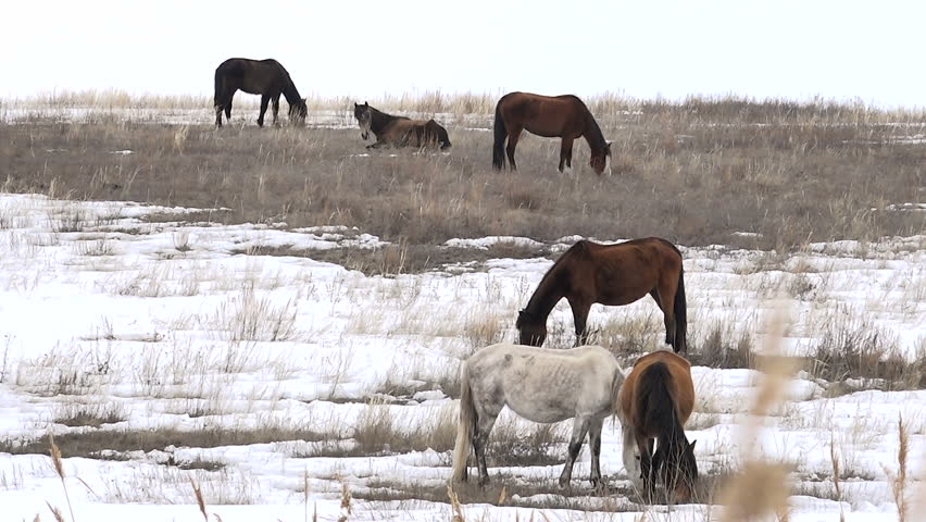 Horses Graze in Early Spring Among the Snow Thawed,on the Hills of the River Among the Reeds | Shutterstock HD Video #15769981