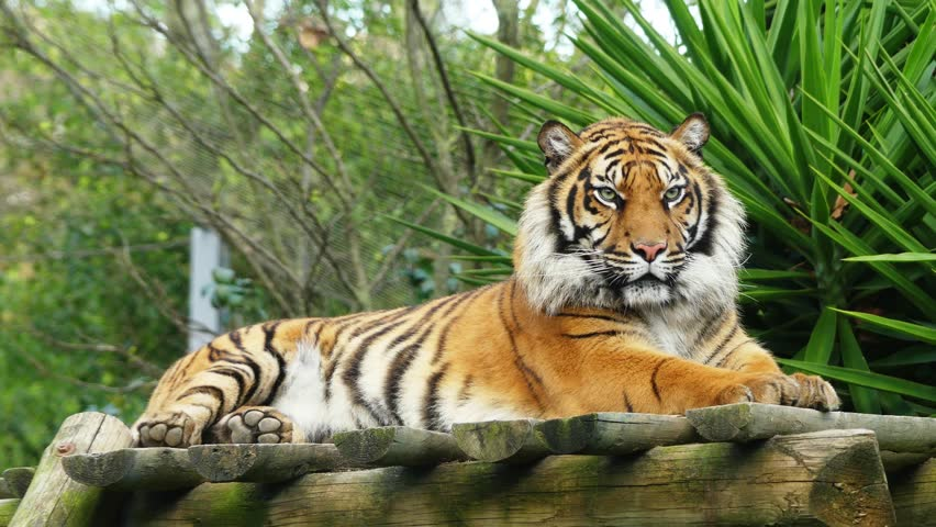 4k tiger (Panthera tigris) is the largest cat species, most recognisable for their pattern of dark vertical stripes on reddish-orange fur with a lighter underside. | Shutterstock HD Video #15868387