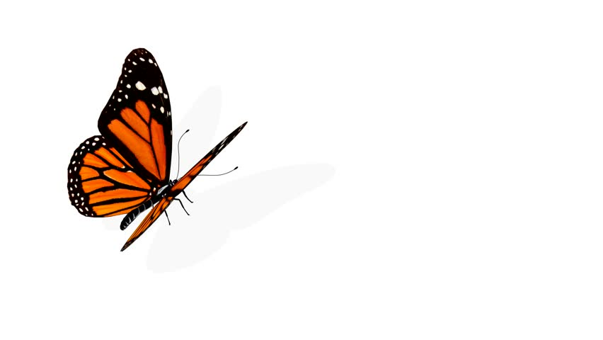 Butterfly animation