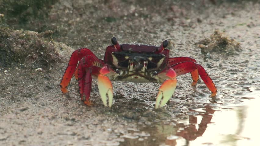 Crab alone in the wild