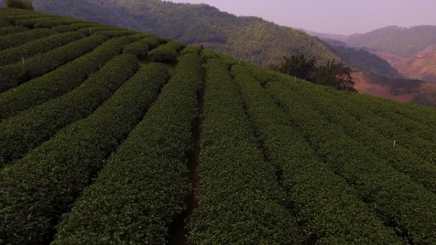 Aerial shooting from radio controlled drone of a tea plantations in Asia. Green fields with coffee beans on the hillside in sunny summer day in Thailand