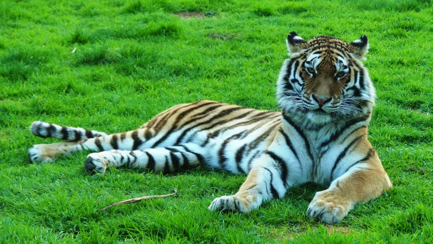 4k tiger (Panthera tigris) is the largest cat species, most recognisable for their pattern of dark vertical stripes on reddish-orange fur with a lighter underside. | Shutterstock HD Video #15956836