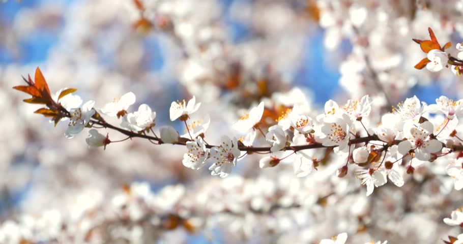 Plum Tree Flowers Pictures