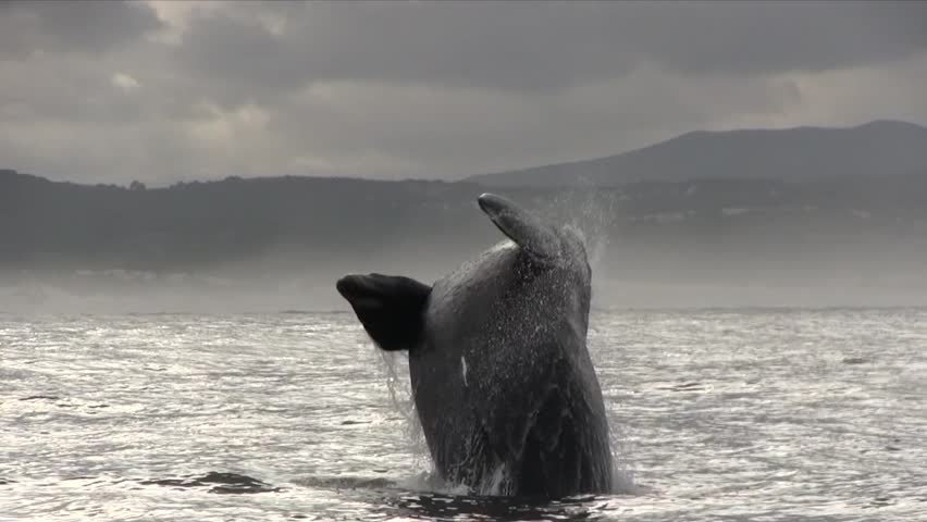 Southern Right Whale Breaching Filmed Close Up