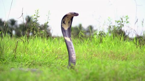 Monocle Cobra in Everglades