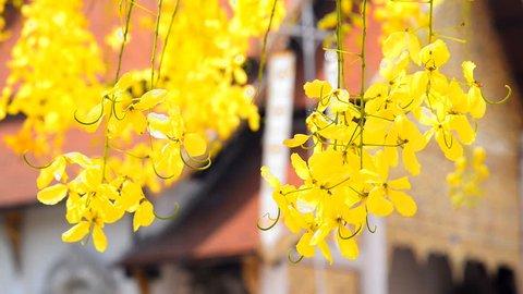Cassia fistula flower (Golden shower) in the garden, Thailand's national flower.