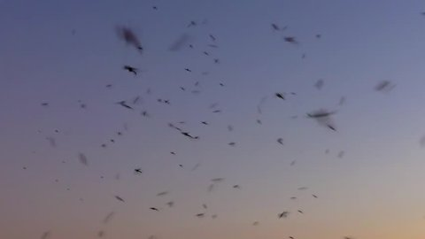 Mosquitoes swarm at sunset