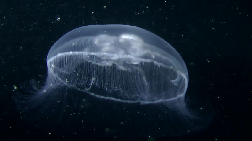 Common jellyfish (Aurelia aurita) swim in the water column. | Shutterstock HD Video #16189708
