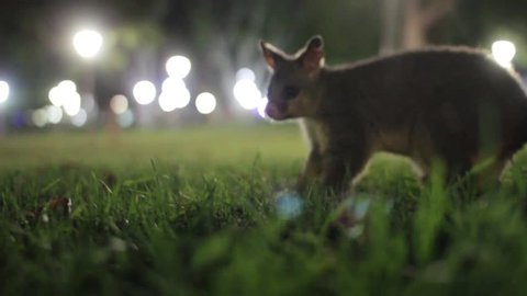 Possum walking and wandering in the city night sydney australia