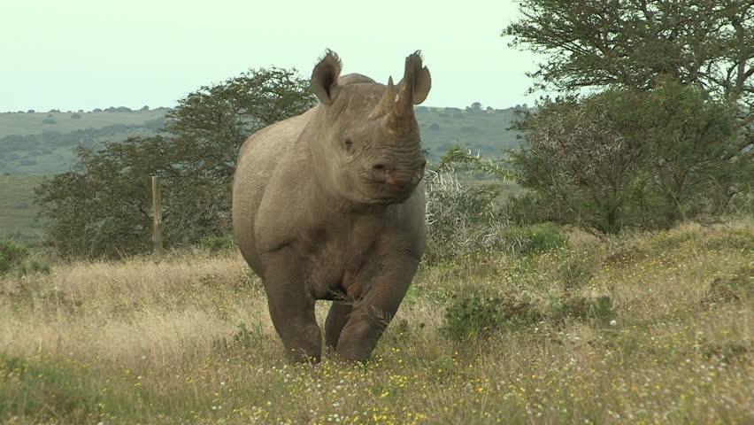 Black rhino walking towards camera