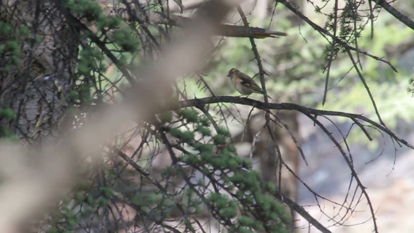 Chaffinch standing on a tree Chaffinch bird standing on a branch  | Shutterstock HD Video #16390666