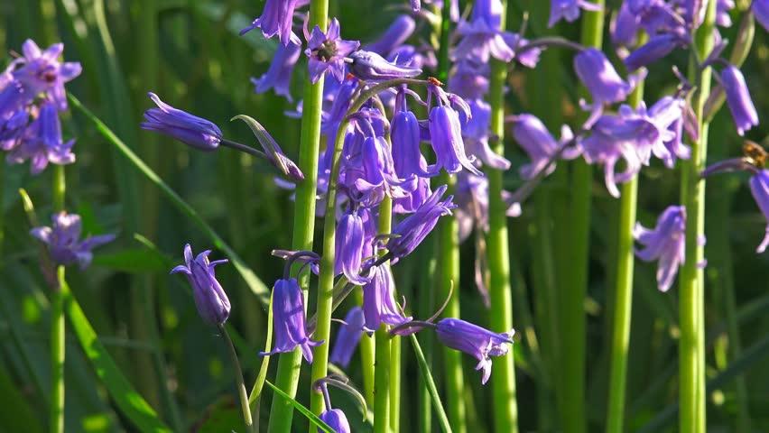 Stock video of vibrant spring flowers bluebells tilt 16463716 stock video of vibrant spring flowers bluebells tilt 16463716 shutterstock mightylinksfo