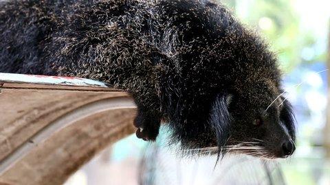 Black binturong in zoo