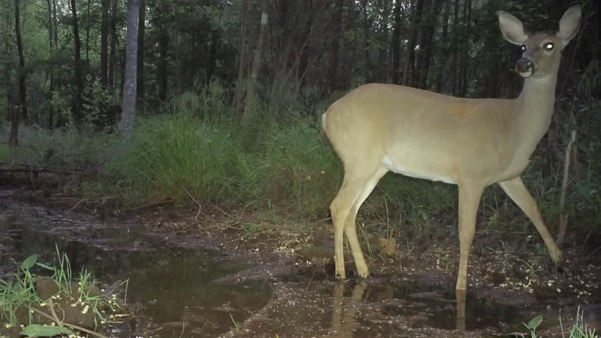 Whitetail Deer Odocoileus Virginianus Mature Buck And -1881