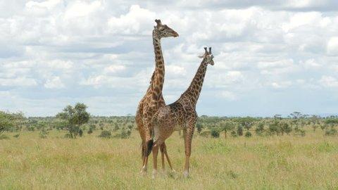 Giraffes mating in the green bush of Serengeti Tanzania - 4K