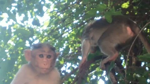 Indian macaques, bonnet macaques, or (lat. Macaca radiata). Habitat types - mountain forests of tropical India, sometimes go to the cities. Two young macaques are searching for food on tree