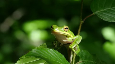 Green Tree Frog perched on tree branch.