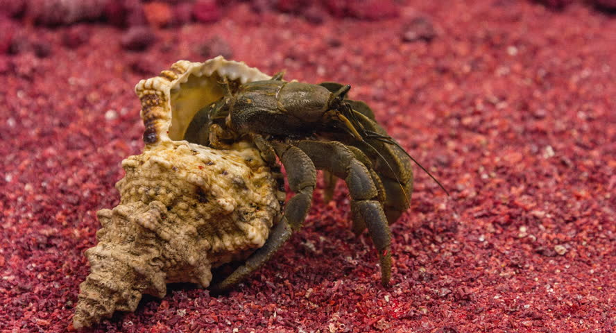 Large hermit crab has got out of his shell.