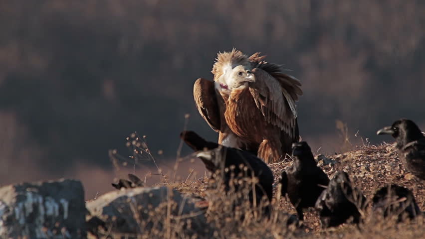 Balkan storyline - Griffon Vulture (Gyps fulvus) and Raven (Corvus corax) in action.