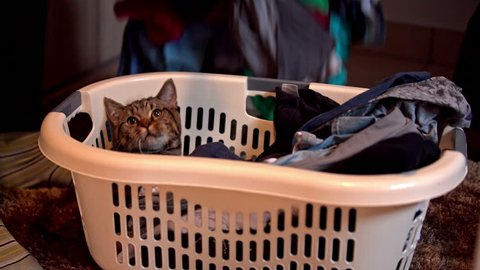 Cat hiding in basket of clothes. Uncovering basket of clothes for ironing and a cat hiding between. Cute little British tabby kitten.