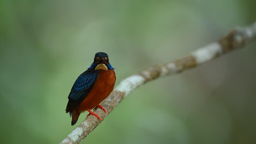 Kingfisher (alcedo atthis) | Shutterstock HD Video #16674940
