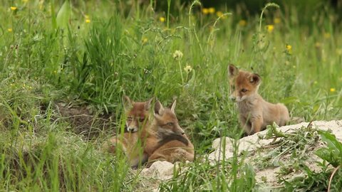 red fox cubs playing near the burrow, white mother vixen is away for food