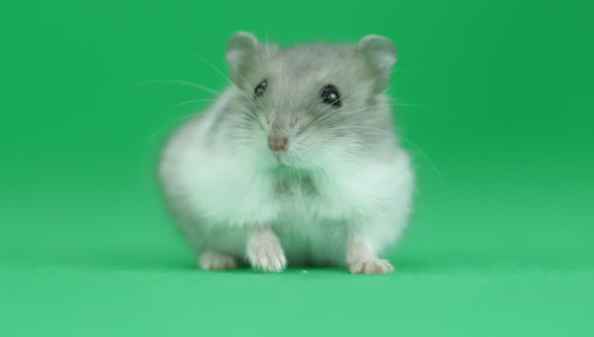 Hamster sitting on a green screen #16744816