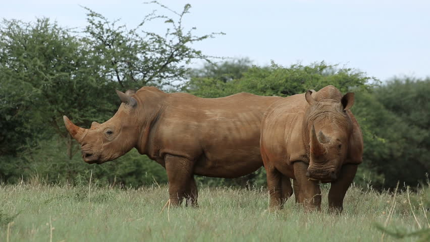 African rhinoceros habitat