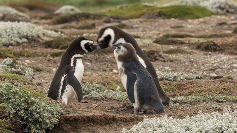 2 adult Magellanic penguins with chick at Otway Sound Penguin Colony, Chile