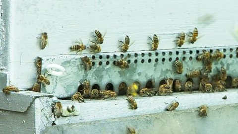 France - October 24, 2015: Honeybees emerging from artificial hive