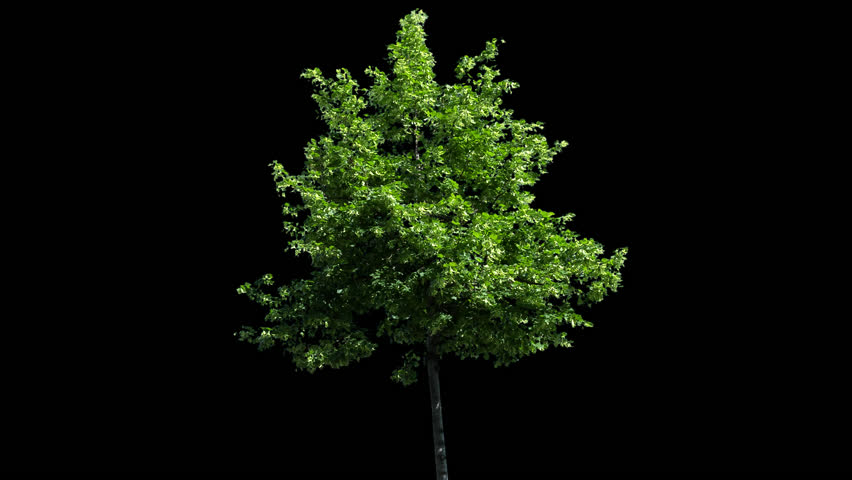 High quality 10bit footage of tree on the wind with Alpha Channel. Made from RAW footage.   Shutterstock HD Video #16868023