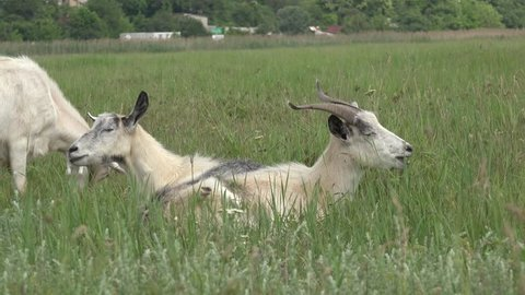 Two Young goat grazing on green meadow at edge of hillside