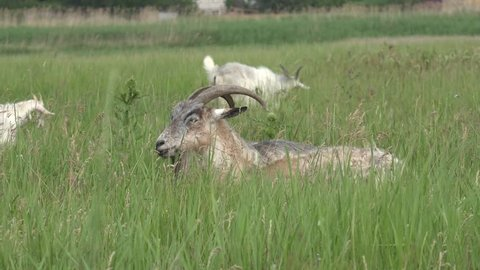 head of goat with horns, goat lies in green grass on field