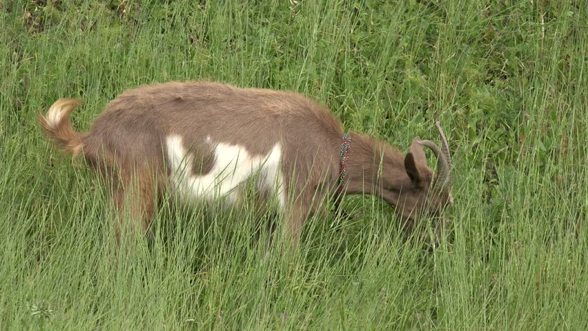 Young Goat beige, grazing on green meadow at edge of hillside, agricultural, farm, rural