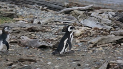 An adult Magellanic penguins with chick at Otway Sound Penguin Colony