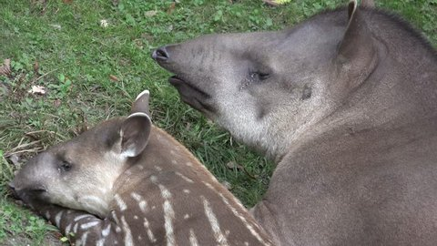 4k UHD Tapir mother (Tapirus spec.) resting with tired young cute baby Tapir close up profiles /  Tapir mother resting with tired young cute baby closeup profiles