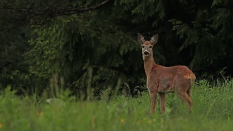 Summer in the mountain. Mammal species European Roe Deer (Capreolus capreolus). A Female grazing grass on the mountain meadow.